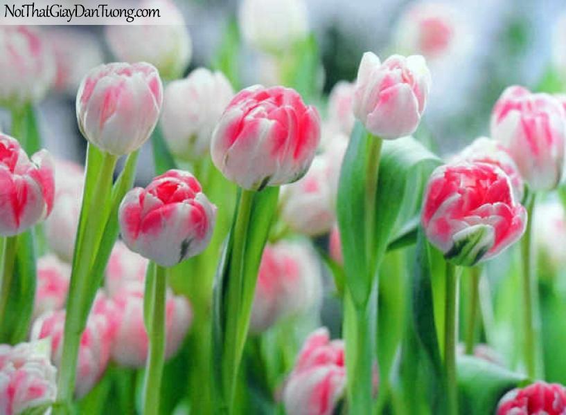 Tranh dán tường Komar (Đức) 8-708 | Tulip đẹp trắng đỏ hồng