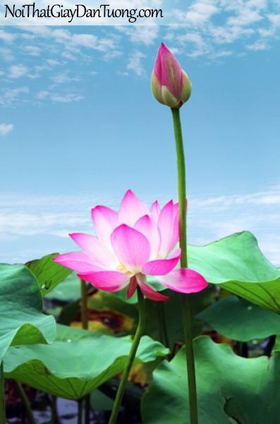 Tranh dán tường | Hoa sen khoe sắc hồng