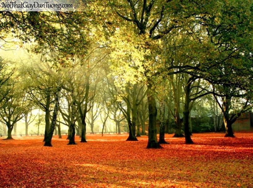 Tranh dán tường, rừng cây, lá vàng rơi giữa mùa thu