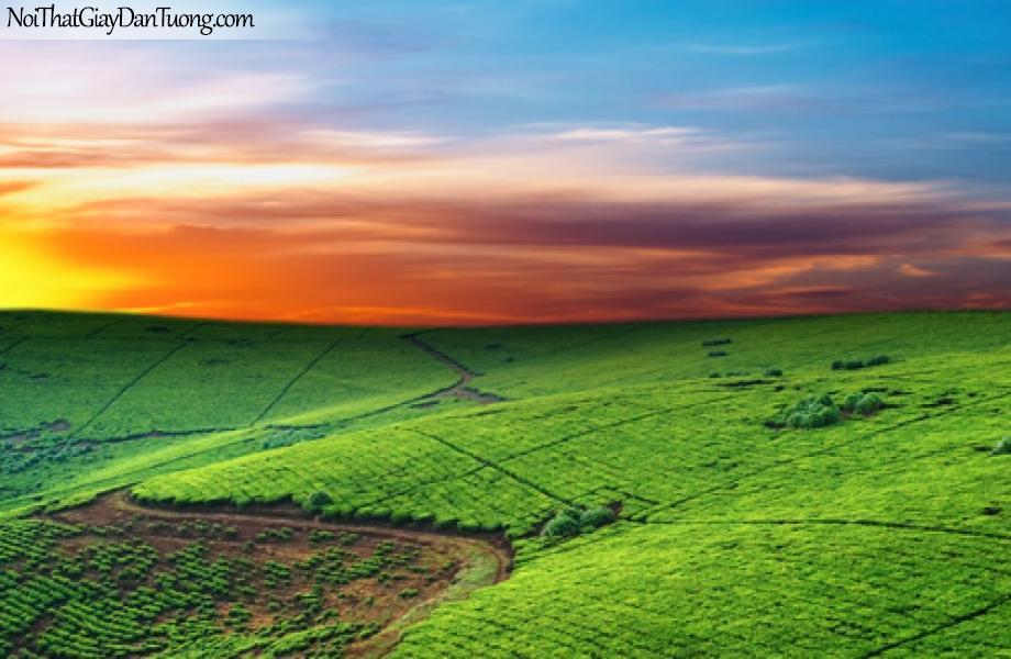 Tranh dán tường, cánh đồng rau màu xanh và bầu trời vàng của buổi hoàng hôn DA0088