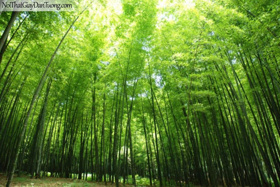 Tranh dán tường rừng re, rừng trúc xanh mát DA0101