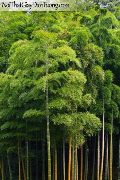 Tranh dán tường, rừng tre, rừng trúc DA0121