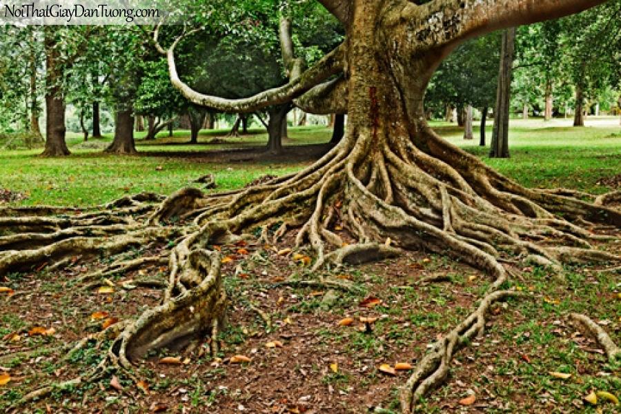 Tranh dán tường, cây cổ thụ DA0252