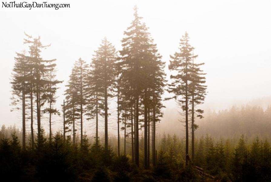 Tranh dán tường, rừng cây thông trong sương mù DA0347