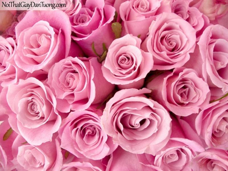 Tranh dán tường , những bồng hoa hồng tươi thắm DA2053