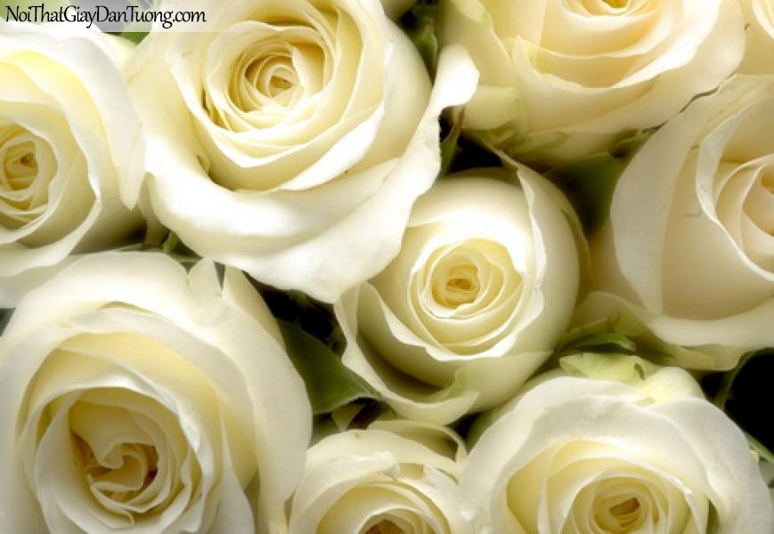 Tranh dán tường , những bồng hoa màu trắng DA2059