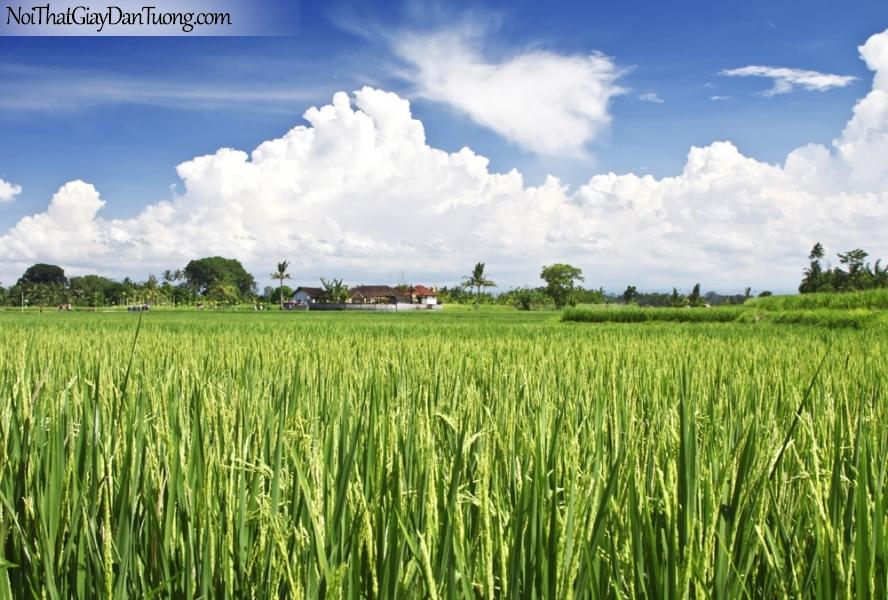 Tranh dán tường , cánh đồng lúa xanh và bầu trời những đám mây trắng DA0612