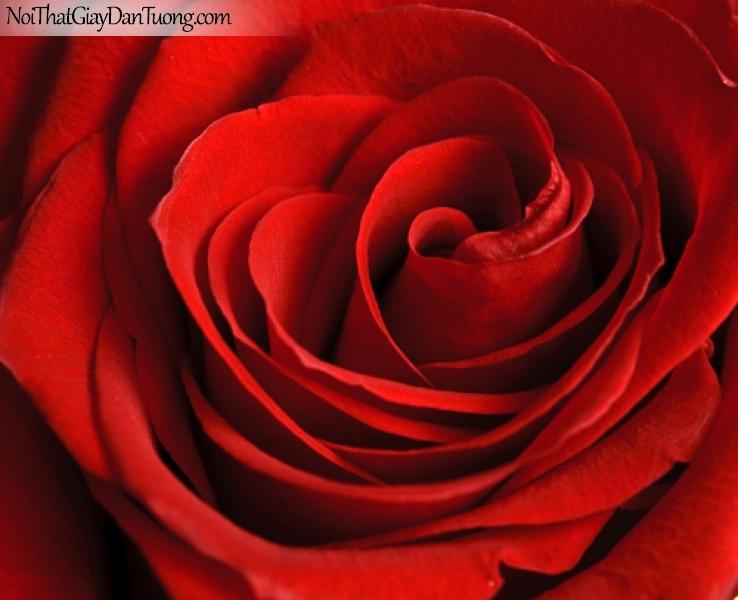 Tranh dán tường | Bức tranh bông hoa hồng tuyệt đẹp DA2152