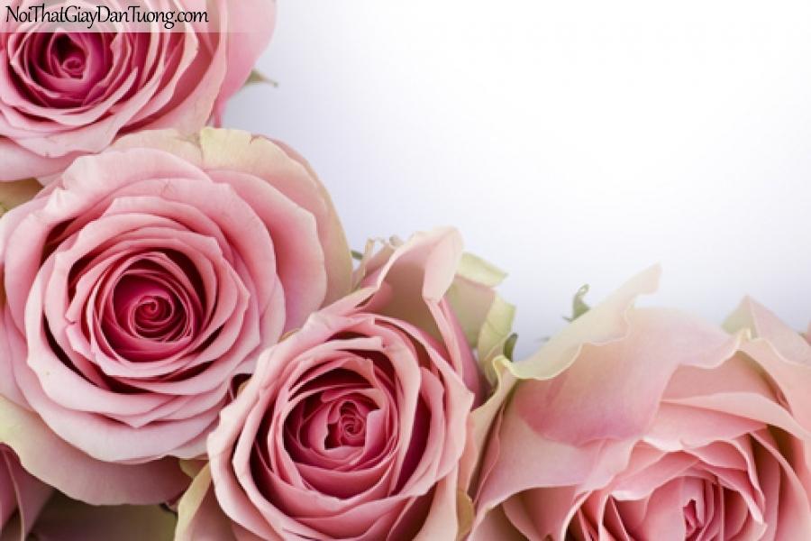 Tranh dán tường   Bức tranh những bông hoa hồng đang khoe sắc DA2160