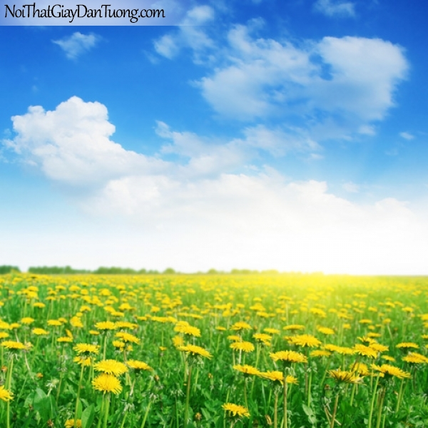 Tranh dán tường   Bức tranh cánh đồng hoa cúc bao la DA2170