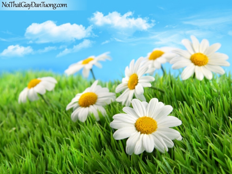 Tranh dán tường | những bông hoa cúc đang khoe sắc dưới bầu trời xanh DA2176