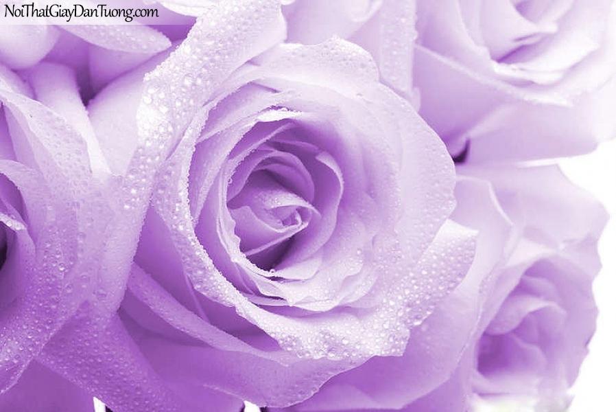 Tranh dán tường | Bức tranh bông hoa hồng với những giọt nước đẹp DA2336