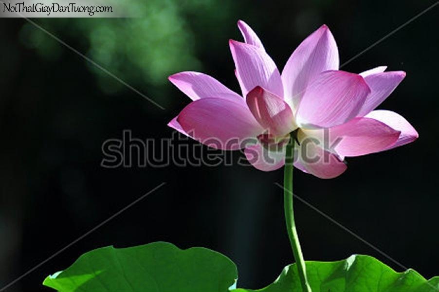 Tranh dán tường | Bức tranh bông hoa sen tuyệt đẹp DA2350