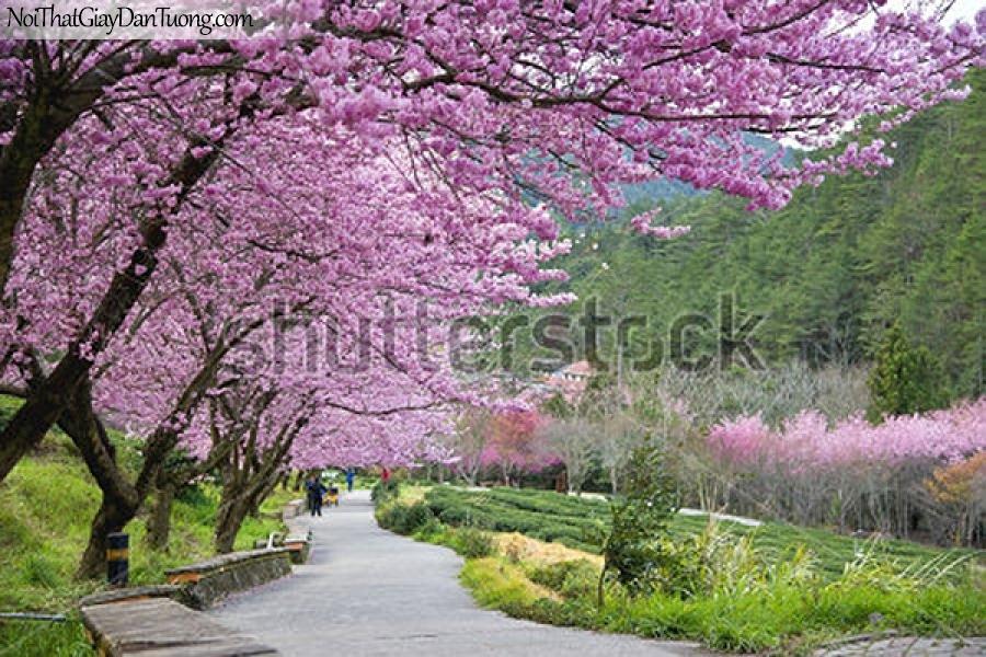 Tranh dán tường | Bức tranh những cây hoa đào nở bên con đường nhỏ tuyệt đẹp DA2310