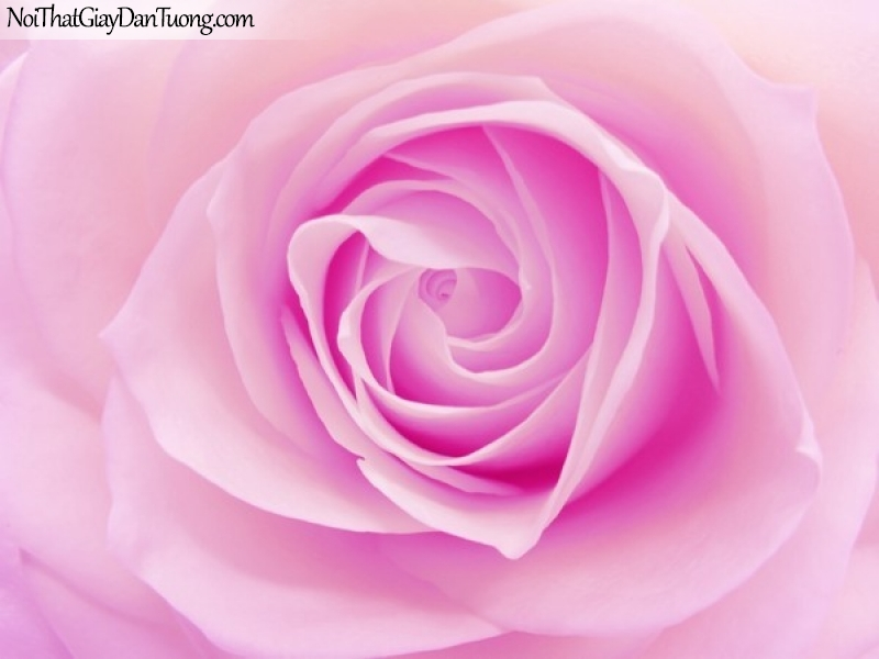 Tranh dán tường , ngắm bồng hoa hồng DA2337