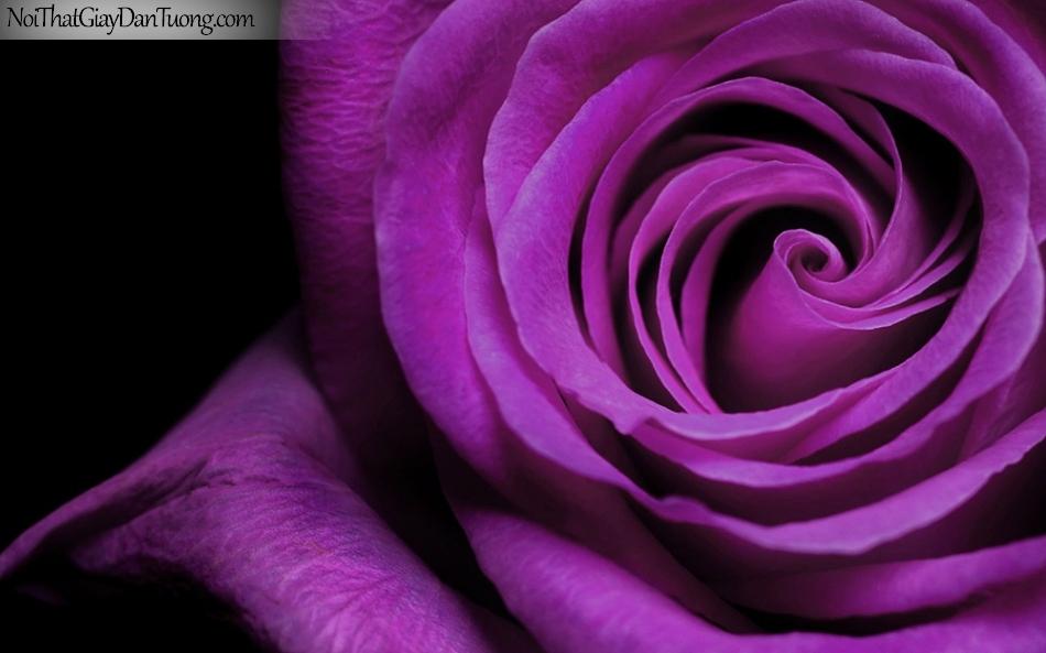 Tranh dán tường , ngắm bông hoa hồng tuyệt đẹp DA2331
