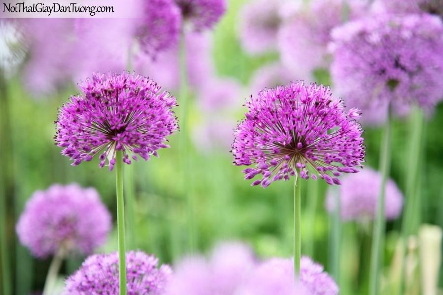 Tranh dán tường , ngắm những bông hoa Đơn tím Alliums tuyệt đẹp DA2349