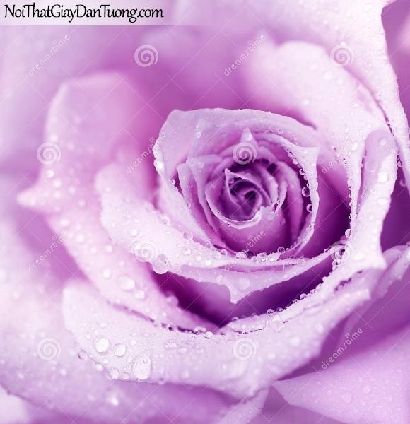 Tranh dán tường | Bức tranh bông hoa hồng đang khoe sắc DA2356