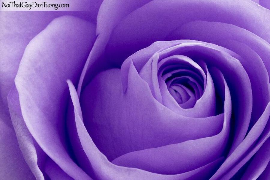 Tranh dán tường | Bức tranh bông hoa hồng tím tuyệt đẹp DA2360