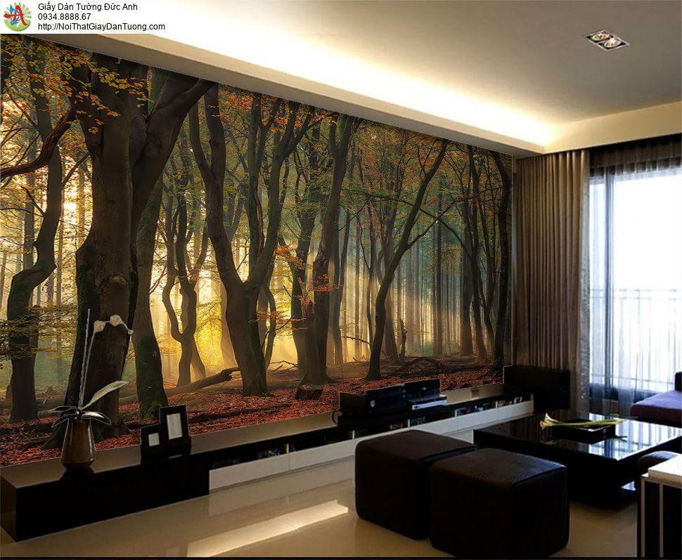 1416 - Giấy dán tường rừng cây to, bình minh trong khu rừng cây lớn